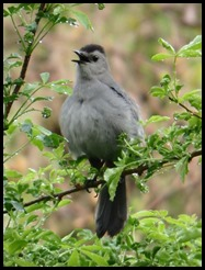 gray cat bird(PARKE)