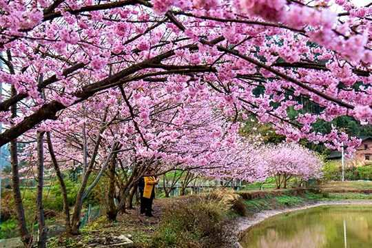 美呆了!重庆南川迎来樱花浪漫时