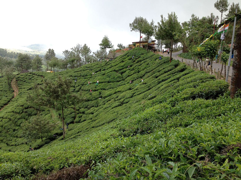 ©2013-TravelScents-tea-plantation-near-munnar