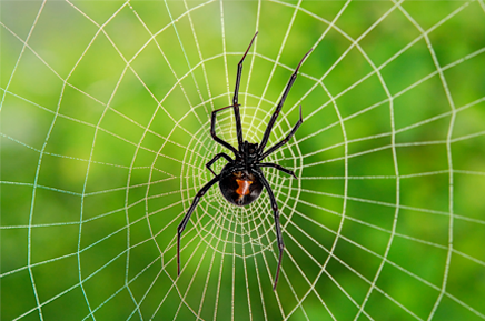Red back spider in web
