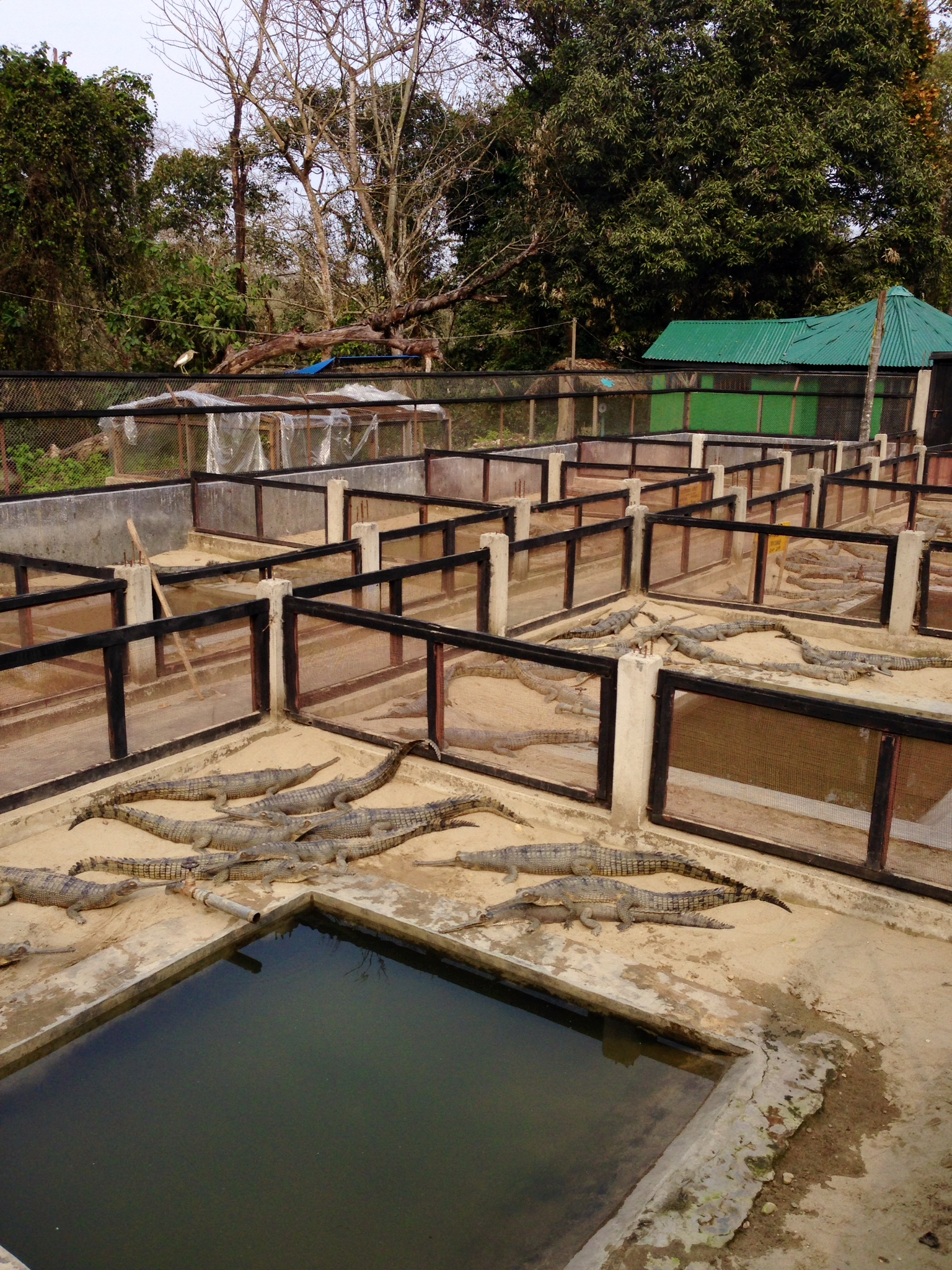 Divided rearing enclosures for young gharials