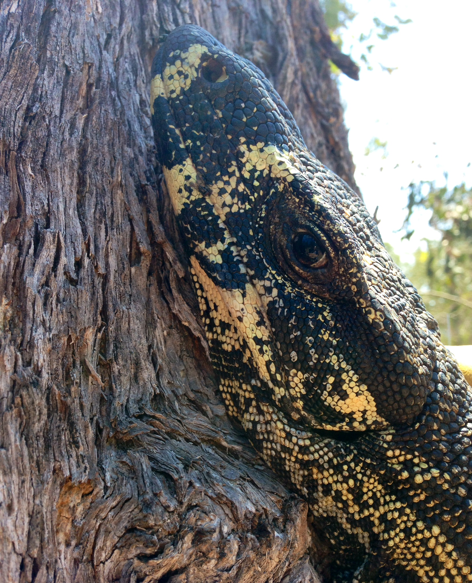 wild lace monitor