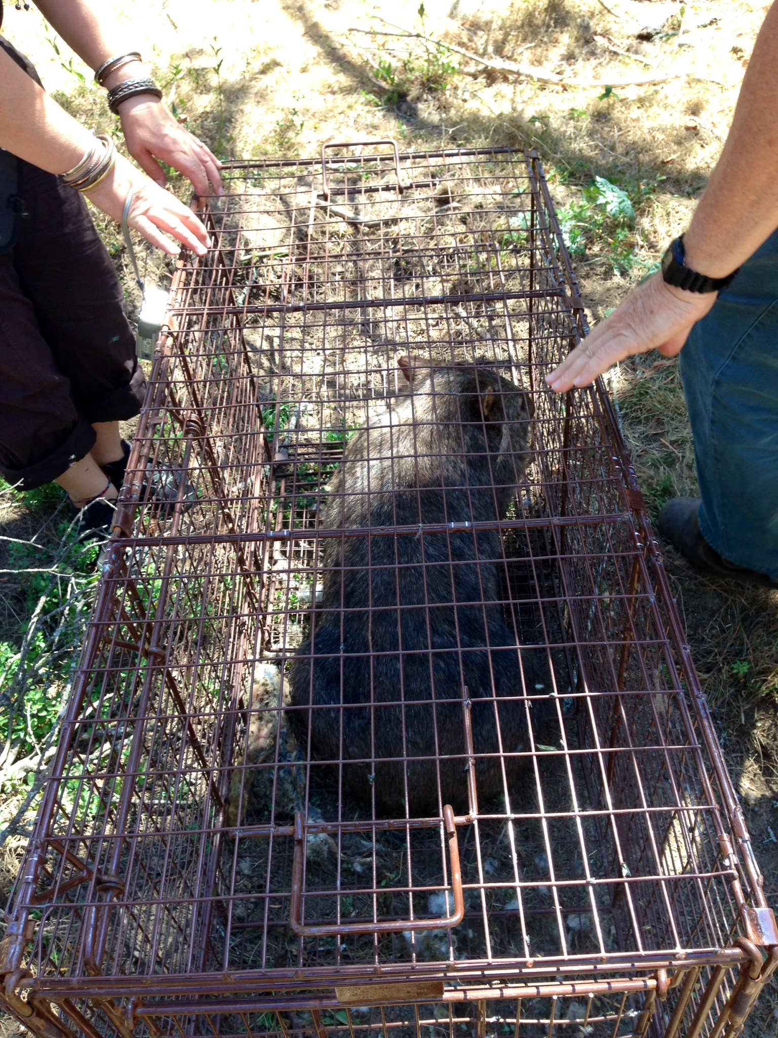 Female wombat stuck inside a lace monitor trap