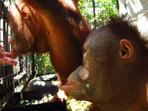 Jojo and Juvi, the first two orphaned orangutans to arrive at the Sintang Orangutan Centre