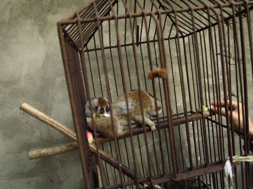 Mother slow loris and her baby inside a small, dirty cage out the back of a man's house