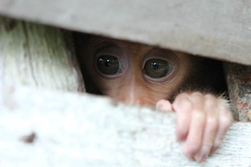 Short tail macaque being kept illegally as a pet in west Borneo