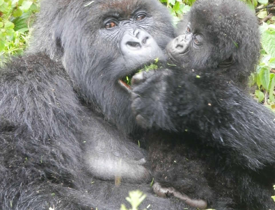 gorilla-tracking