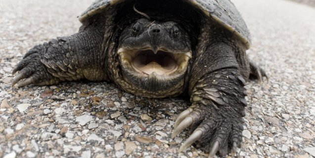 Idaho Teacher Accused of Feeding Live Puppy to Snapping Turtle (VIDEO)