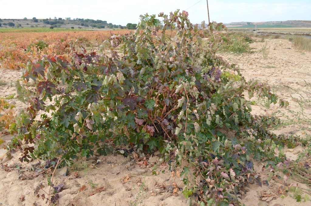 Tinta de Toro bush vines are planted this way as an adaptation to the climate.