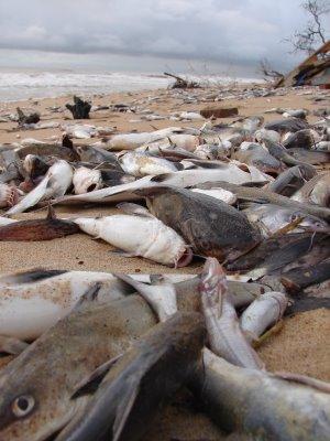 peixe+mortos+amazonia+pesca+de+jaraqui+m