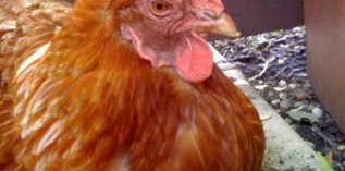 What's the Point of Keeping a Hen Who Cannot Lay Eggs?