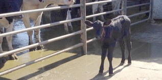 I Visited A Small, Organic Dairy Farm to See If Animals Were Treated Better