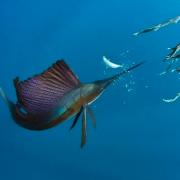 pez vela
