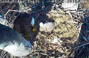 Ohio bald eagle duel ends in death of mother, chick as birders watch in horror