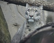 Akron Zoo welcomes 8-year-old snow leopard, Tai Lung