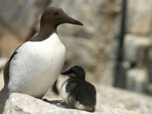 Guillemot and chick on the Isle of May