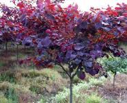 加拿大紫荆