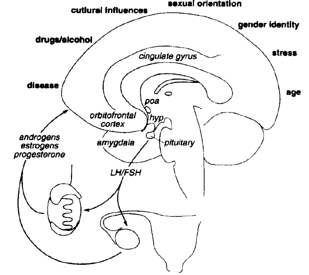 Neural/Endocrine Structures Influencing Sexual Function