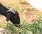 Goat gang-raped in India by 8 men