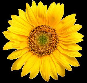 sunflower4-web-transparant