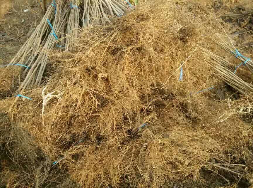 榛子苗的根系