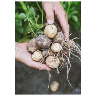 Svensk färskpotatis med smör, salt och dill. Vad mer kan man önska en skön sommardag? Potatis är inte bara en av världens mest populära råvaror, utan också en av de nyttigaste. Potatis innehåller värdefulla vitaminer och fibrer. Äter du den med skalet på får du också i dig en ordentlig dos av nyttiga antioxidanter. Potatisen är världens fjärde största matgröda efter ris, vete och majs.  #lrfträdgård #väljsvmat #väljsvenskt #lantbruk #odling #enbonde #svenskfrukt #svenskagrönsaker #svenskablommor #svenskabär #närproducerat