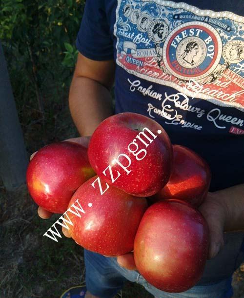 润太一号苹果,早熟苹果