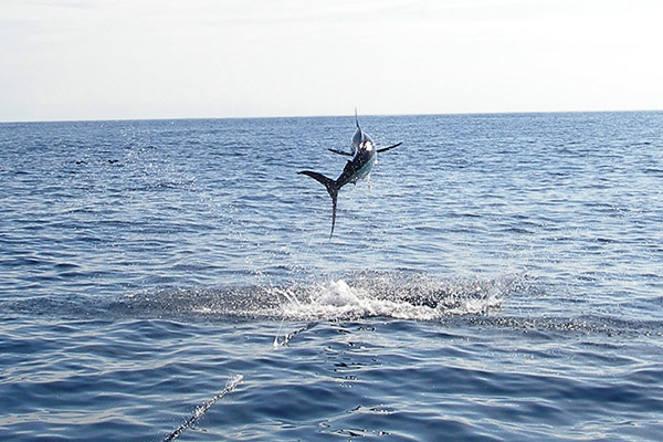 Marlin Flying over the sea