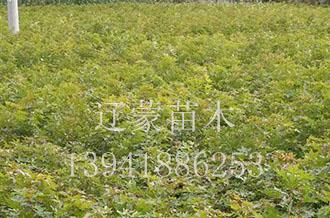 五角枫苗木