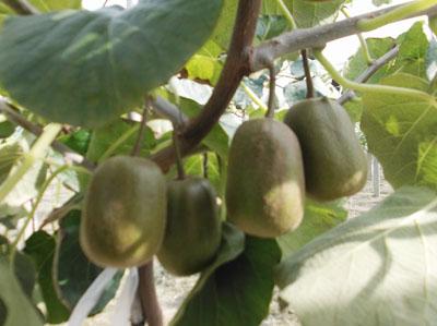 红心猕猴桃苗供应