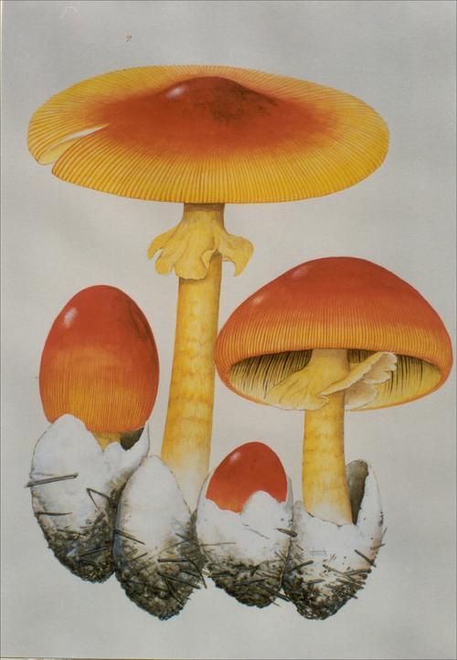 邮票上的食用菌