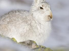Mountain hares turn white in winter    Picture: Tom Marshall/RSPB