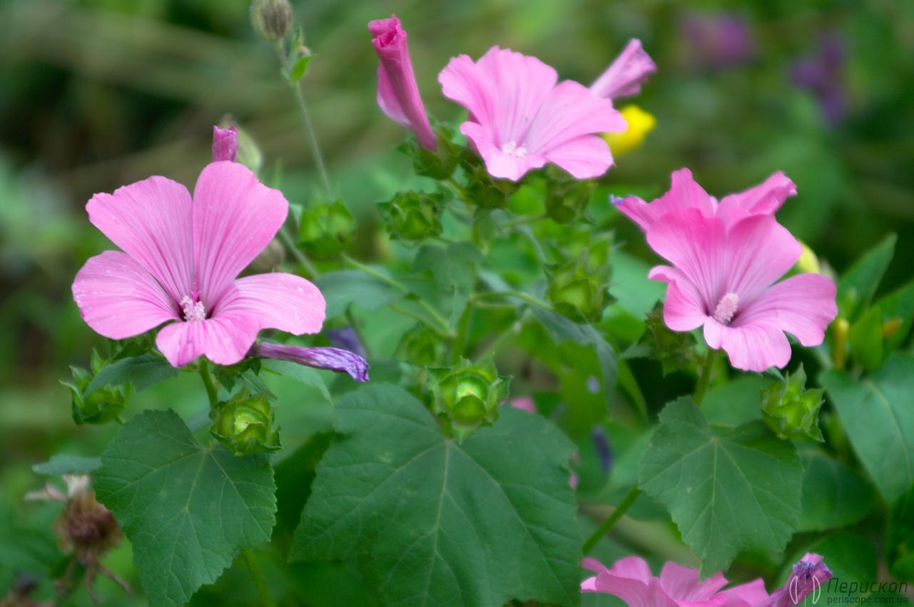 Leica Vario-Elmar-R 3.5-4.5/28-70 sample photos pink flowers