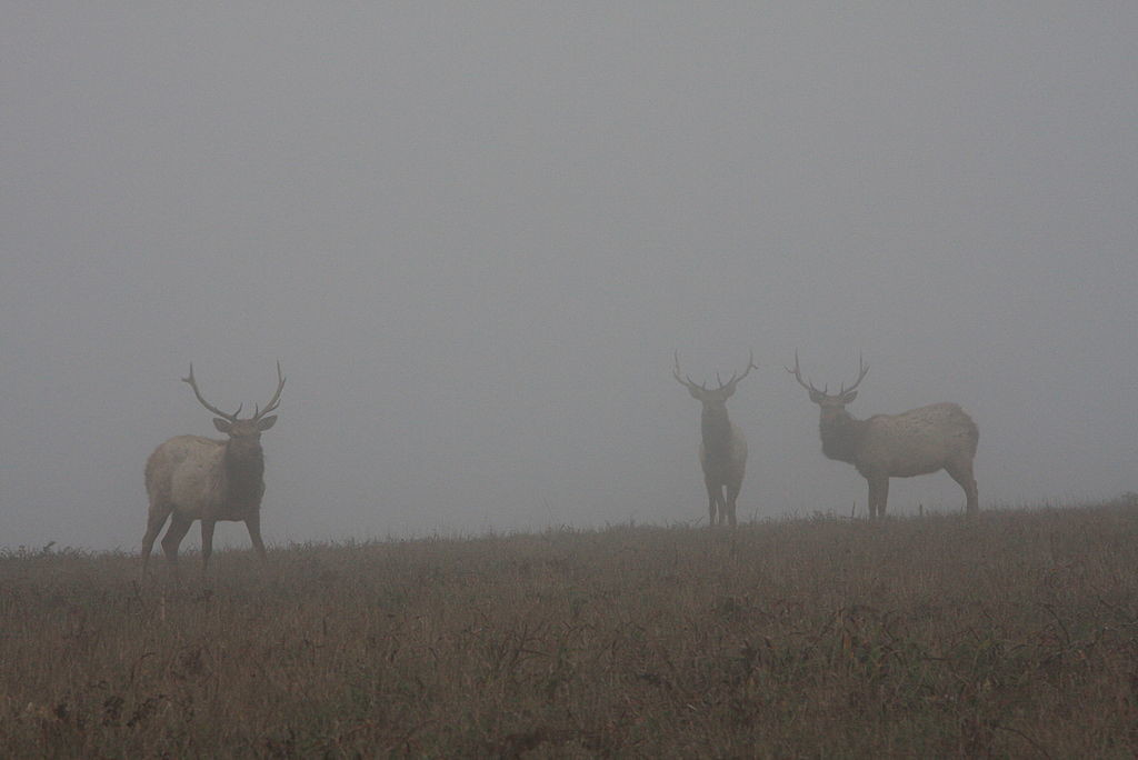 Tule elk seen through fog at the Tomales Point Trail in Point Reyes National Seashore. As the debate between ranchers and environmentalists across California continues, the future of tule elk remains uncertain. (Photo: Wing-Chi Poon/Wikimedia Commons)