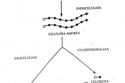 celulasa