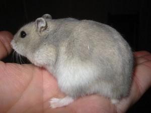 Tanda-tanda Hamster Hamil