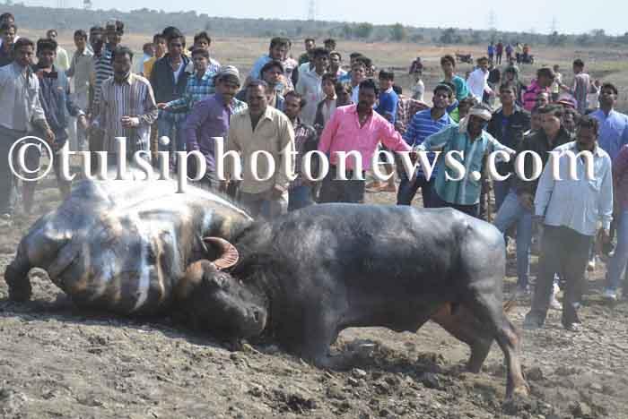 Buffalo fight in Bhopal 5