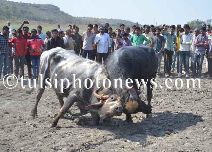 Buffalo fight in Bhopal 3