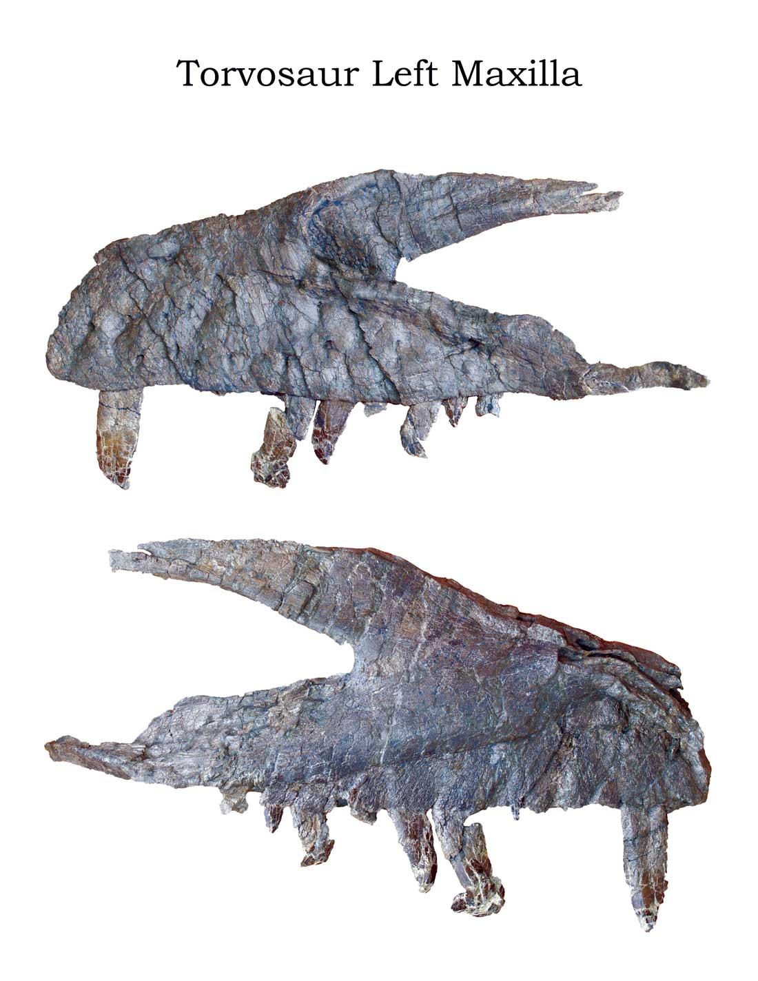 Torvosaur-Left-Maxilla