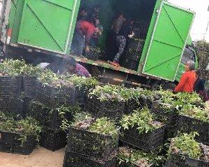 藤椒苗种植基地