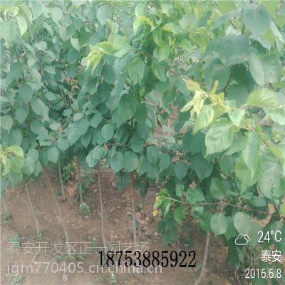 杏树苗批发 凯特杏树苗价格 山东基地高产品种 1.5米高1公分粗成苗