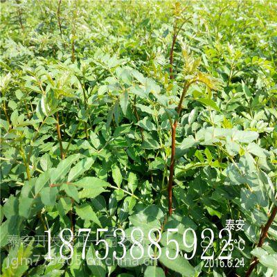 正一园艺场批发1年花椒苗 50厘米花椒苗价格 易管理收益高