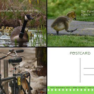 shot7 canada goose postcards