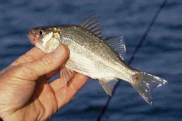 White perch can be used to catch yellow perch. (Credit: National Oceanic and Atmospheric Administration)