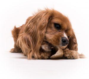 Spaniel chewing on hoof