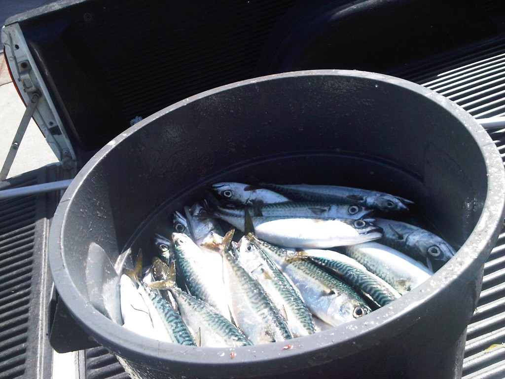 Barrel of Sardines Taken out of King Harbor Redondo Beach