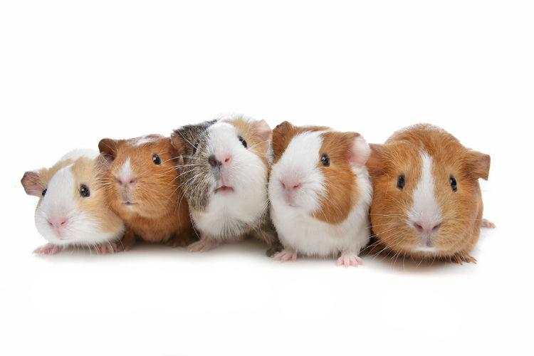 guinea-pig-names