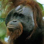 Adult male Bornean orangutan in rainforest canopy in Indonesia