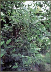 南米産シジュウムの樹木