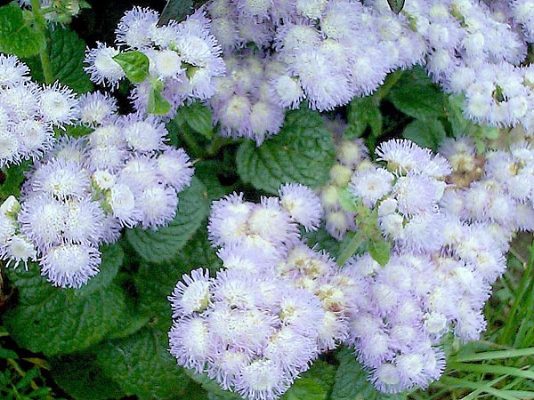 Низкорослые цветы для клумб — дизайнерские решения